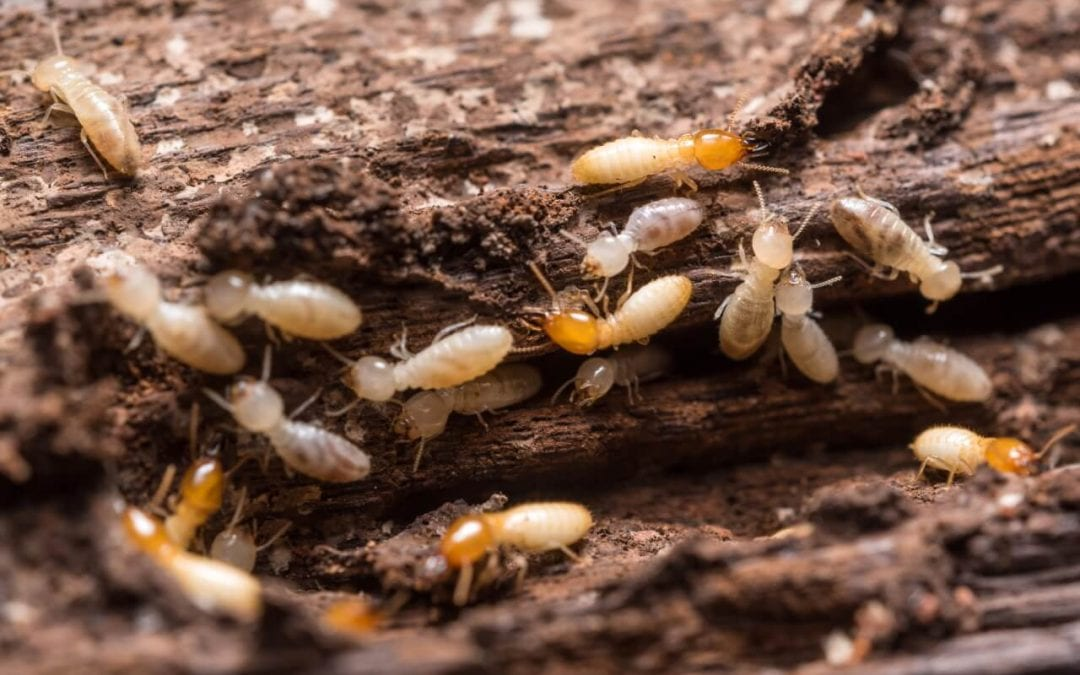 4 Tips to Prevent Termites in the Home